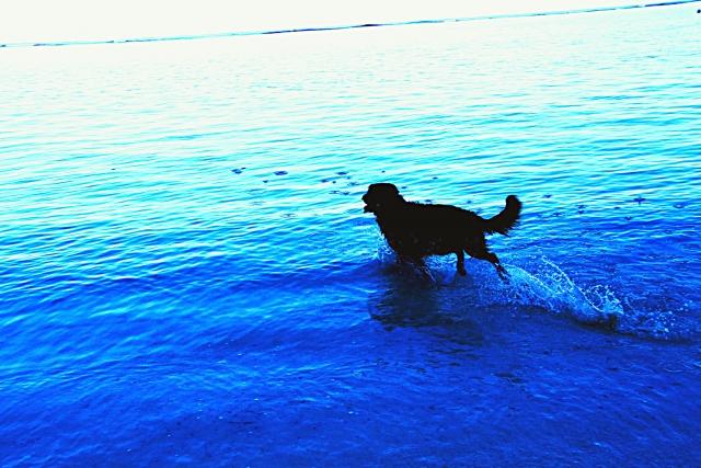 犬 海で散歩