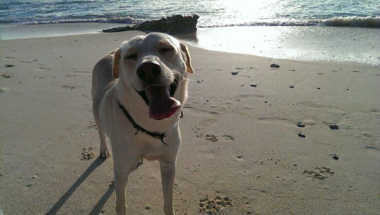 犬 ラブラドール 琉球犬