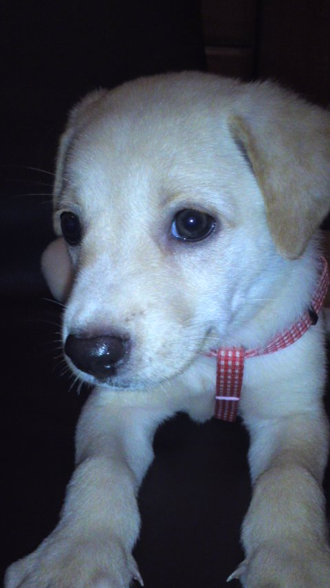 ラブラドール 琉球犬