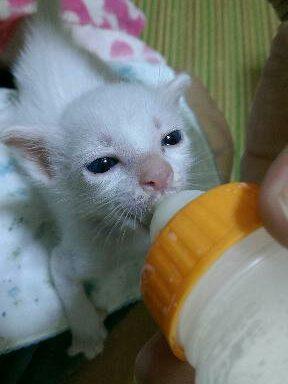 ミルクを飲む仔猫