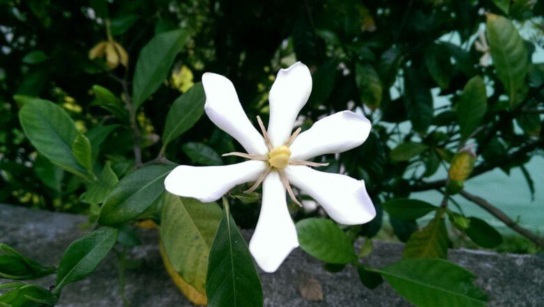 花 クチナシ