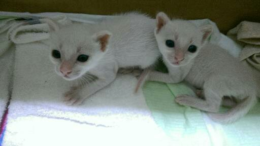 白猫子ネコ