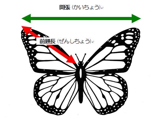 蝶 オオゴマダラ 前翅長