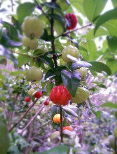 豊作のピタンガ