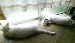 白猫がゴロゴロする様子
