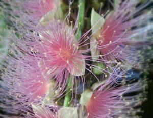サガリバナのお花