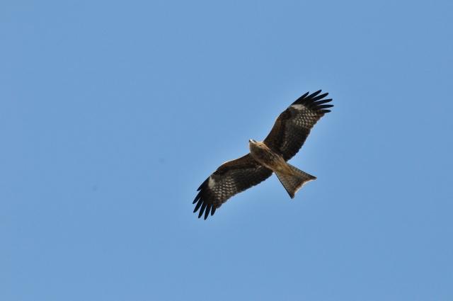 宮古島で越冬する鷹サシバ
