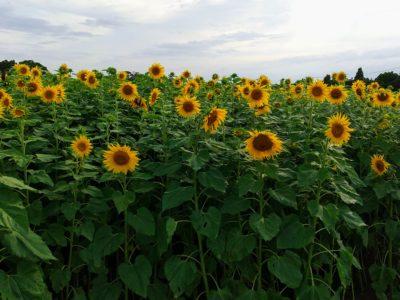 宮古島のひまわり畑