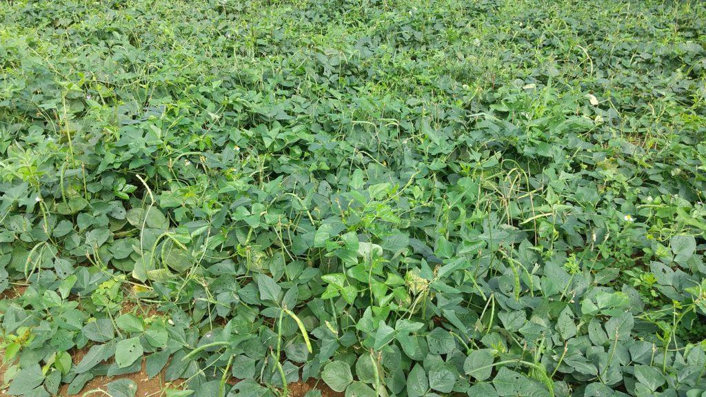 黒小豆の畑