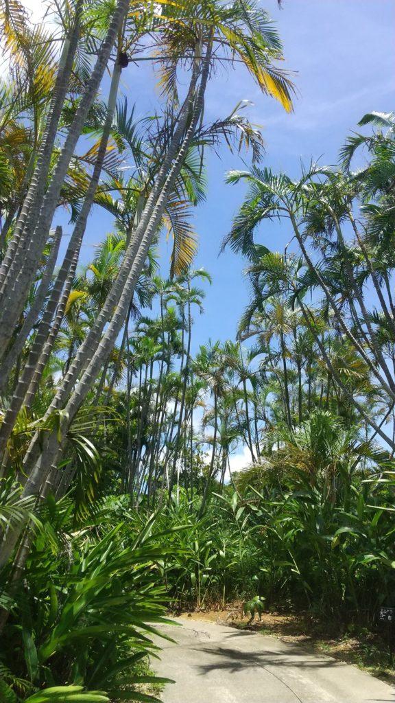 アレカヤシの群生林