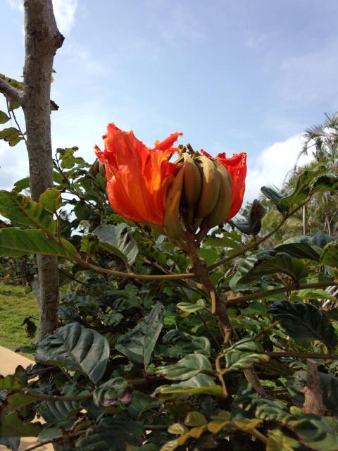 世界三大美花のカエンボク