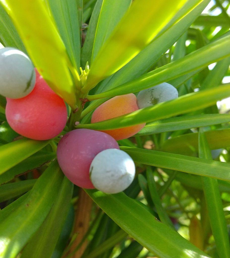 イヌマキの果実