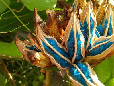 タビビトノキの種